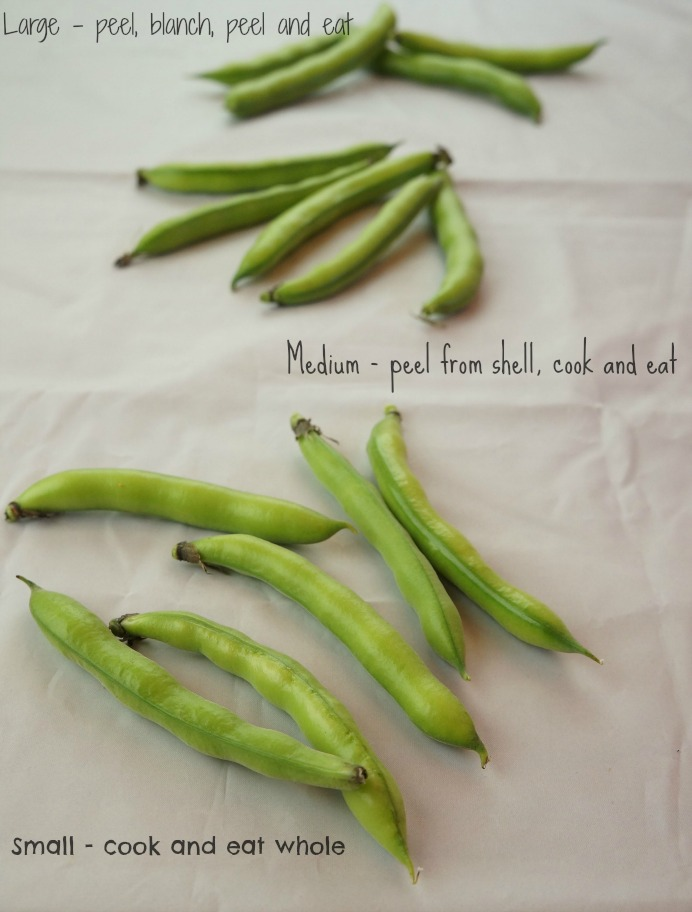 All about Fava Beans